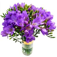 Purple 20 Freesia