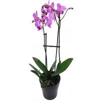 Lilac Phalaenopsis Orchid
