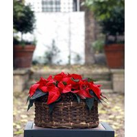 Large Poinsettia Basket