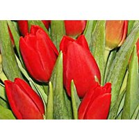 30 Red Tulips in a Vase