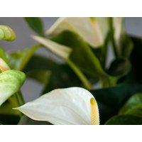 Large Anthurium Plant