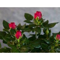 Red Rose Pot