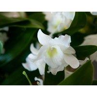 Tremendous Dendrobium