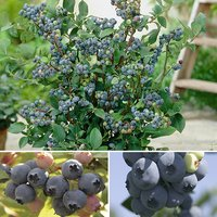 Blueberry Collection - Pack of 3 Varieties 347002