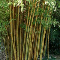 Pair of Yellow Bamboo Plants 1m Tall 347098