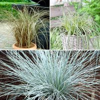 Colourful Ornamental Grasses Collection x 6 Varieties 347173