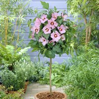 Hibiscus Hamabo Standard Pink - 1m Tall 347821