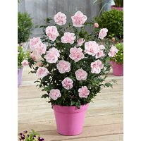 Double Flowered Hibiscus Chiffon Collection - 3 x 9cm Plants 347833