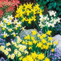 Dwarf Daffodils and Narcisisi Collection - 100 x Bulbs 352921