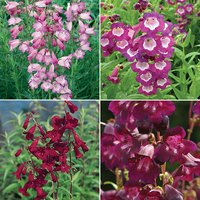 Hardy Summer Colour Penstemon Collection 367545