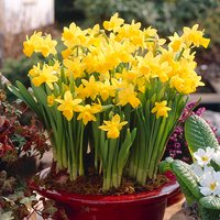 100 Narcissus Tete a Tete Multiflowered Bulbs 383756