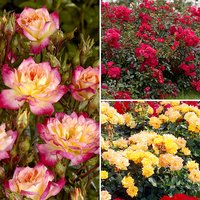 Groundcover Roses - Fruity Collection 3 384752
