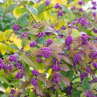 Callicarpa (Beauty Berry) - Set of 3 Plants in 9cm Pots 386182
