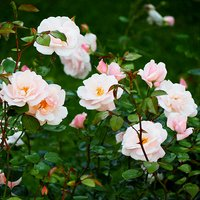 Pack of 4 Mini Rambling Roses in 9cm Pots 403314