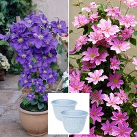 Pair of 2L Pink and Blue Patio Clematis on Trellis with Pair of Blue Serenity Planters 404114