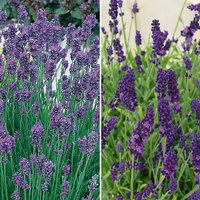 Garden Ready Lavender Plants (20 Pack)