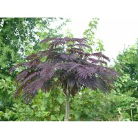 Albizia (Summer Chocolate) 3L Pot 60cm Tall 408919