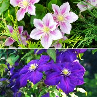 Pair of Large Flowered Hybrid Clematis in 2L Pots on 60cm Tripods 427964
