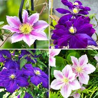 Set of 4 Large Flowered Hybrid Clematis in 2L Pots on 60cm Tripods 427965