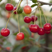 Compact Sweet Cherry Bush Porthos 3L 428597