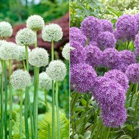100 Allium Bulb Collection - 50 x Ping Pong and 50 x Violet Beauty 433497