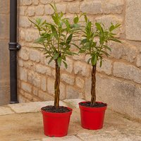 Pair Plaited Living Willow Bonsai Standards 1L Pots 25cm Tall 436847