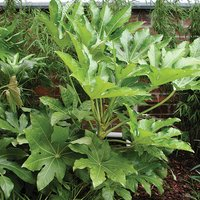 Evergreen Fatsia Japonica 5L Pot 75cm Tall 437283