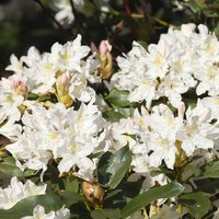 Rhododendron Cunninghams White 2L pot 437289