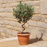 Patio Spiral Stem Olive Bonsai with Fruit 60cm in Decopot