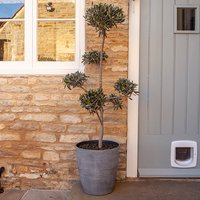Hardy Olive Tree Pom-Pom Cloud Bonsai 1.4m Tall