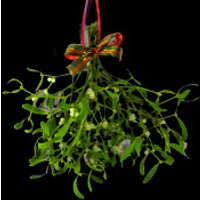 An Extra Large Bunch of Berried Mistletoe with a Bow