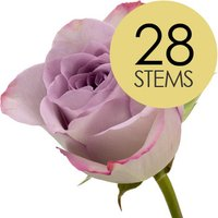 28 Classic Lilac Roses