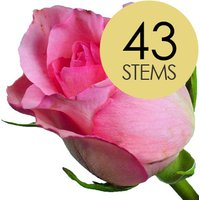 43 Classic Pink Roses