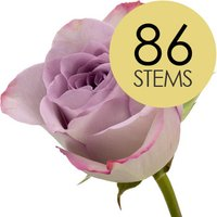 86 Classic Lilac Roses