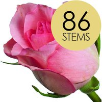 86 Classic Pink Roses
