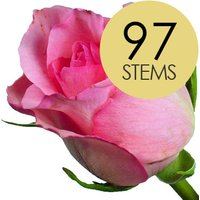 97 Classic Pink Roses