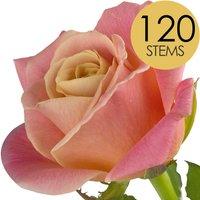 120 Luxury Peach Roses