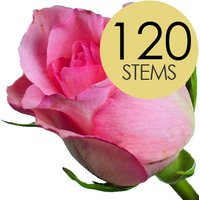 120 Wholesale Pink Roses
