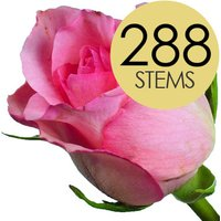 288 Wholesale Pink Roses