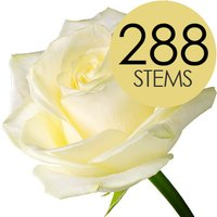 288 Wholesale White Roses