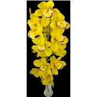 A Single Classic Yellow Cymbidium Orchid