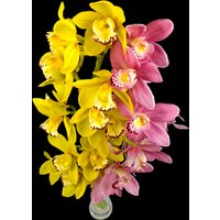 2 Classic Mixed Cymbidium Orchids