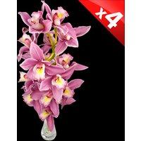 4 Classic Pink Cymbidium Orchids