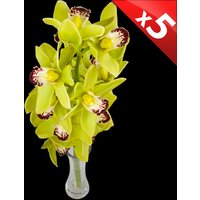 5 Classic GREEN Cymbidium Orchids