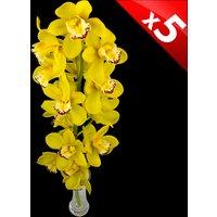 5 Classic Yellow Cymbidium Orchids