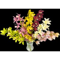 6 Classic Mixed Cymbidium Orchids