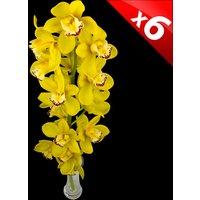 6 Classic Yellow Cymbidium Orchids
