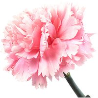 A Single Classic Pink Carnation