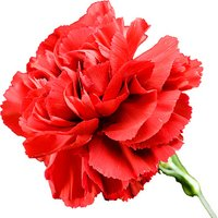 A Single Classic RED Carnation