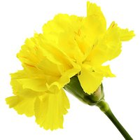 A Single Classic Yellow Carnation
